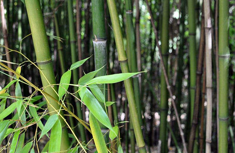 Bambu ve Kullanım Alanları