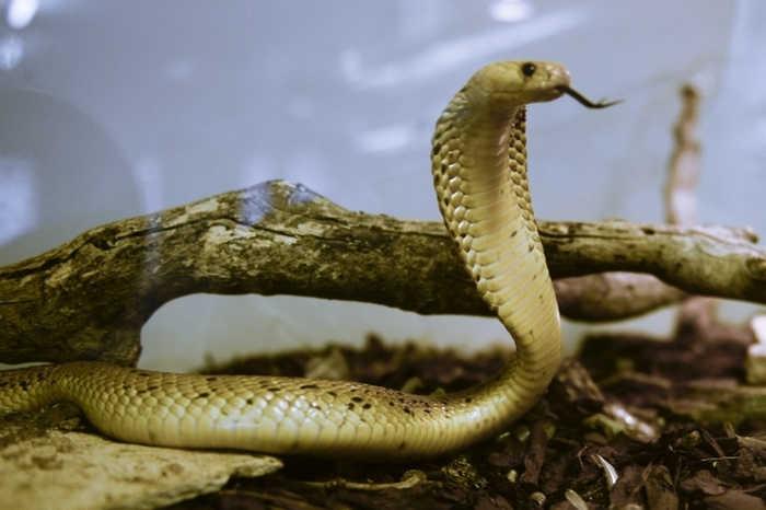 Kobra Yılanıyla İlgili Bilinmesi Gerekenler