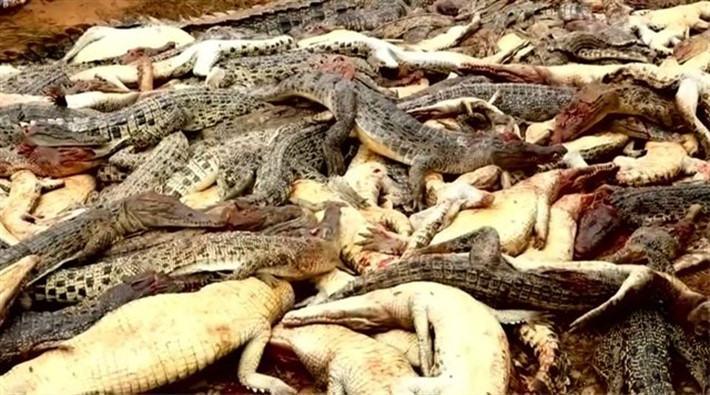 """Endonezya'da köylüler """"intikam için"""" 292 timsah öldürdü"""