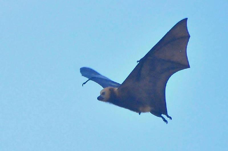 Pteropus – Uçan Tilki – Meyve Yarasası