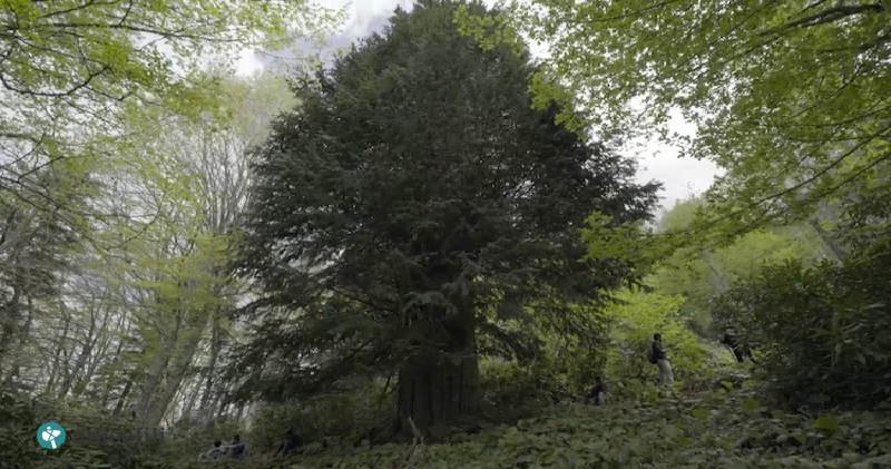 Koca Porsuk – Türkiye'nin En Yaşlı Ağacı