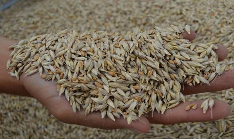 Siyez Buğdayı 3 Bin Yıl Sonra Frig Vadisine Geri Döndü