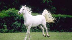Endülüs Atı – Saf İspanyol Atı