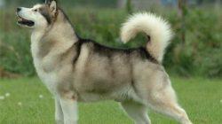 Alaska Kurdu – Alaska Malamutu