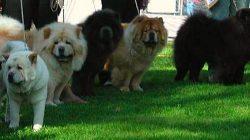 Çin Aslanı – Aslan Köpeği – Çov-Çov