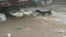 Horozların Kavgasını Ayırmaya Çalışan Yavru Köpek