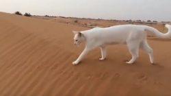 Kedilerin Ön Ayakları Nereye Basarsa Arka Ayakları da Aynı Yere Basar