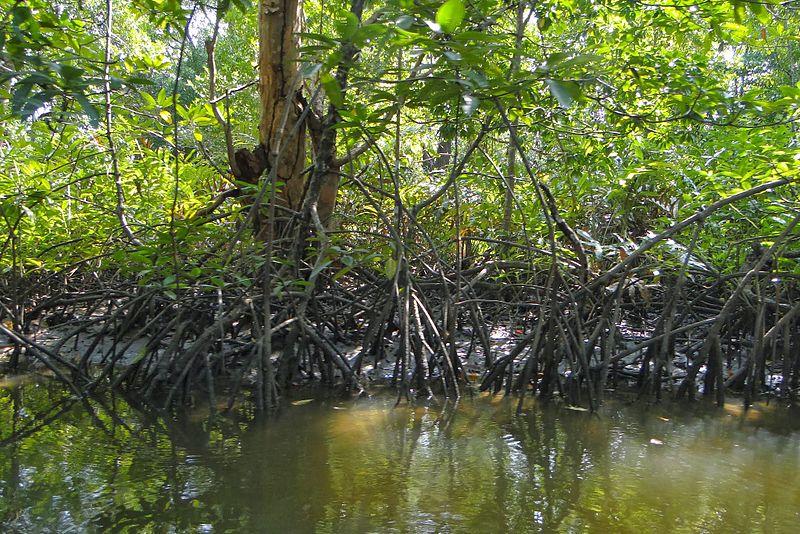 Mangrov Ormanları