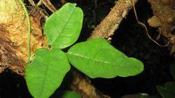 Tırmandığı Ağacı Taklit Eden Taklitçi Sarmaşık – Boquila Trifoliolata