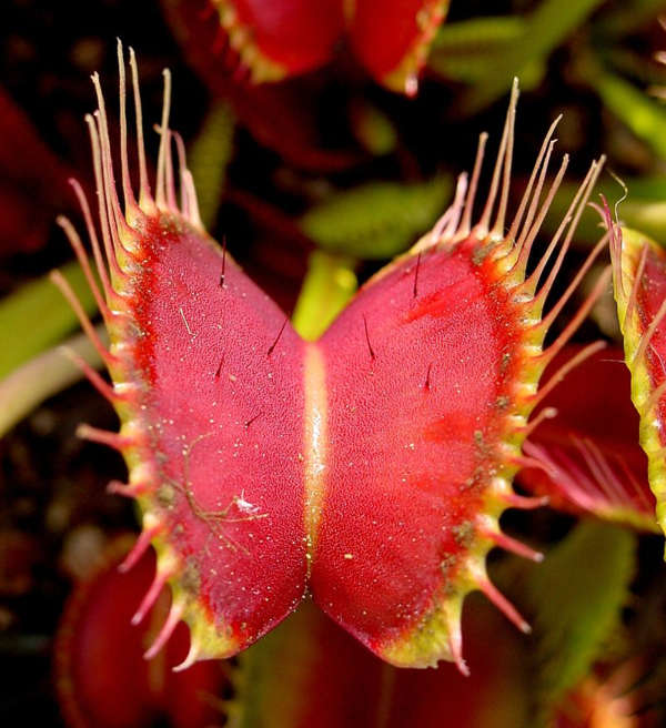 Sinekkapan Bitkisi – Venüs Sinek Kapanı
