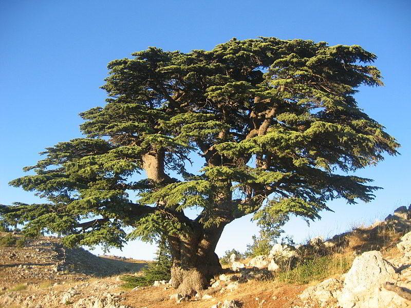 Toros Sediri – Katran Ağacı –  Lübnan Sediri