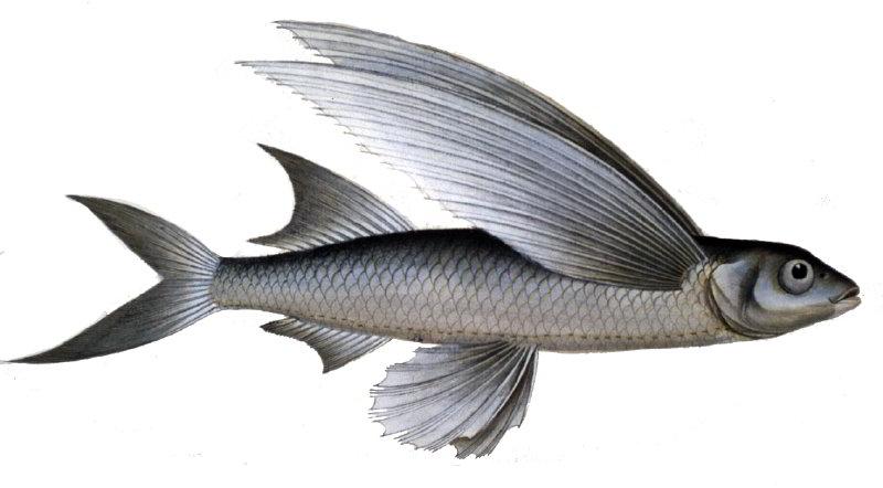 ucan-balık-2.jpg