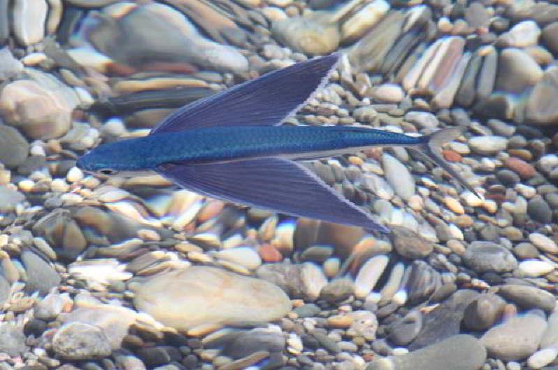 ucan-balık-6.jpg