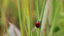 Uğur Böceği – Uçuç Böceği – Gelin Böceği