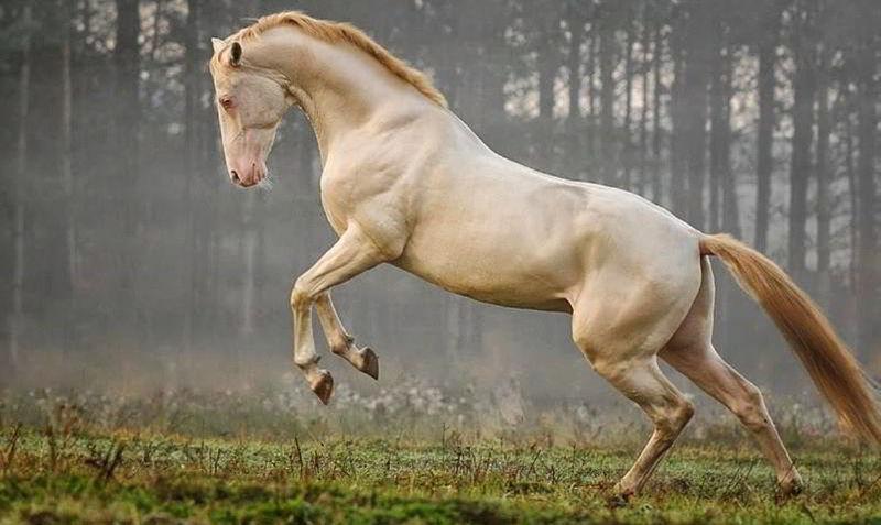 Ahal Teke Atları – Türkmenistan