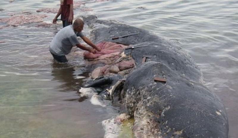 Kıyıya Vuran Ölü Balinanın Midesinden 6 Kilo Plastik Çöp Çıktı