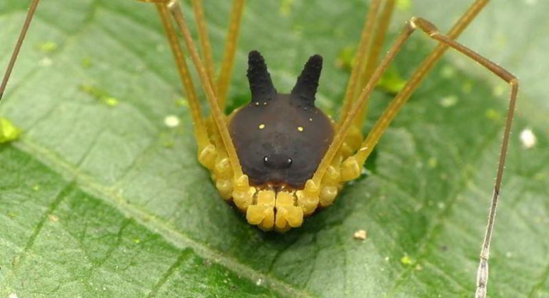 Kulakları Tavşana Kafası Köpeğe Vücudu Örümceğe Benzeyen Eklem Bacaklı – Bunny Harvestman
