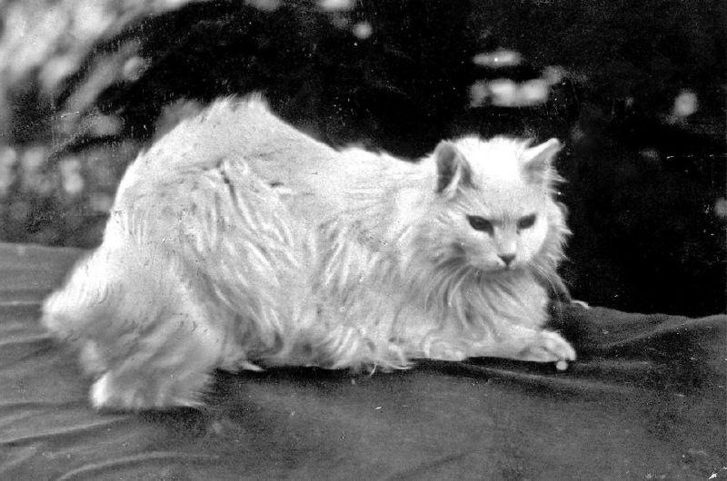 Sultan Abdülhamid'in Kedisi Ağa Efendi'nin 1900'lü yıllarda çekilen bir fotoğrafı