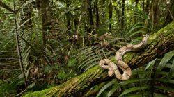 Yılanlar Ağaca Nasıl Tırmanıyor?