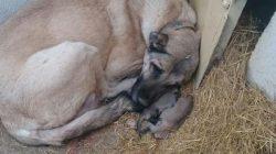Dişi Kangal Köpekleri Yavrularını Neden Yiyor?