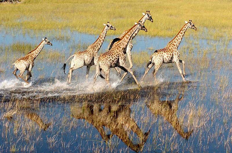 Okavango Deltası'nda zürafalar