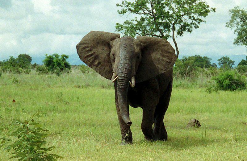 Bir Afrika fili