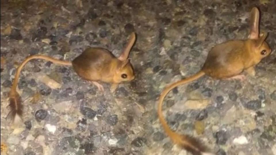 Tunceli'de Nesli Tükenme Tehlikesi Altında Olan Kanguru Faresi Görüntülendi