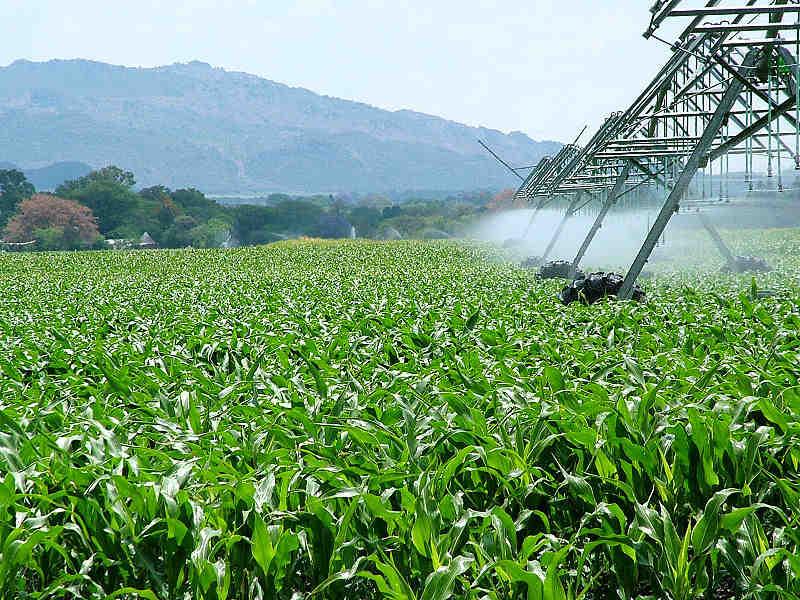Güney Afrika'da mısır tarlaları