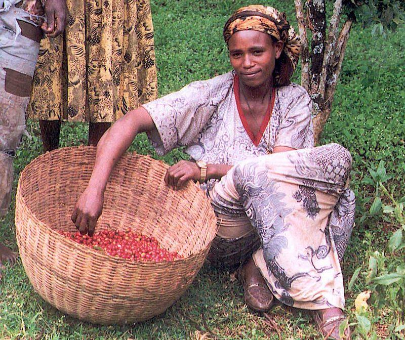 Etiyopya'da kahve hasatı yapan genç bir kadın