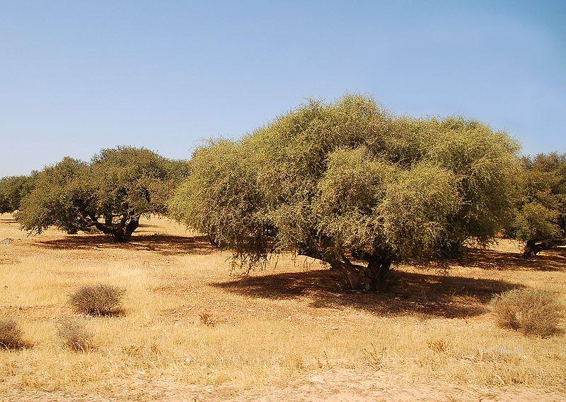 Argan ağaçları Fas'a özgü, endemik bitkilerdir. Besleyici, kozmetik ve çok sayıda tıbbi özellikleri için değerli olan Argan yağı bu ağacın meyvesinden sağlanır.