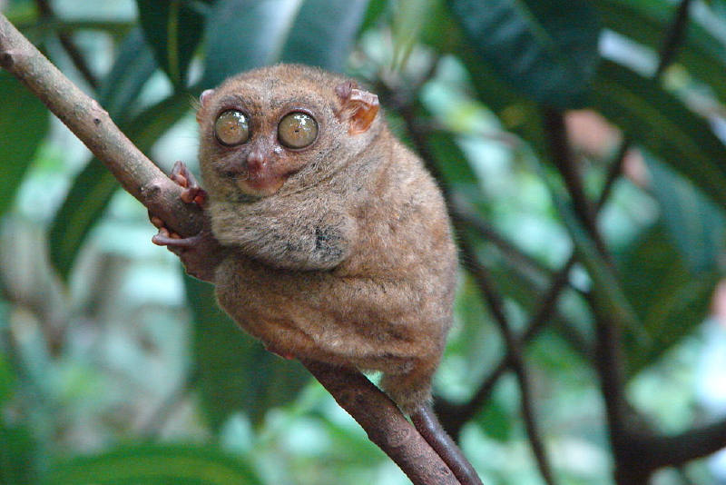 Filipin tarsier