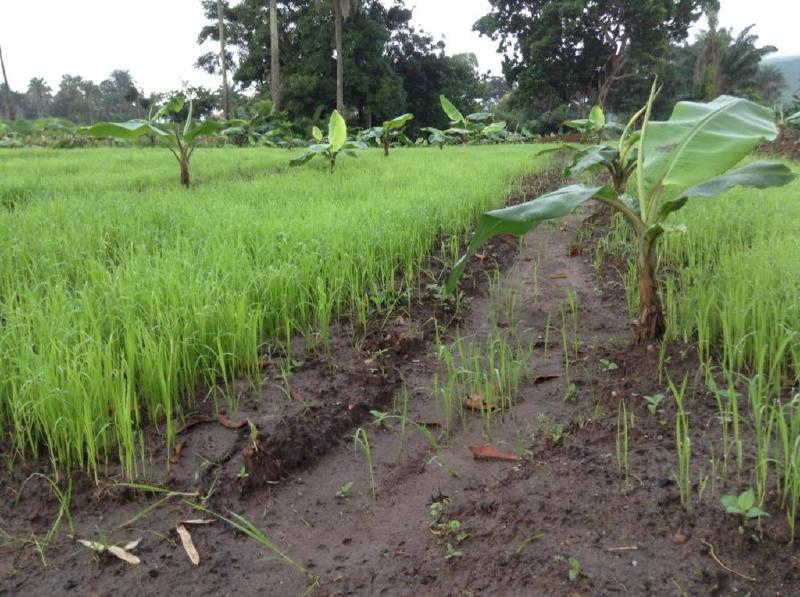Pirinç ve muz ekimi
