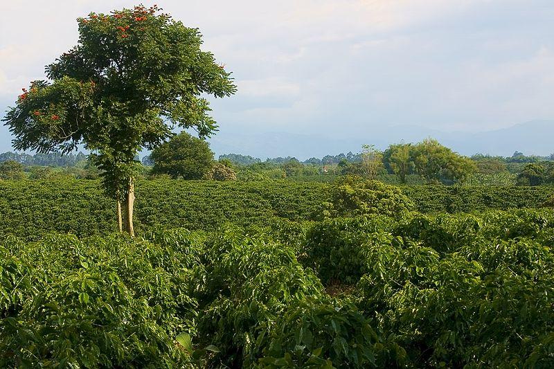 Kolombiya Kahvesi yetiştiriciliği, Quindío.