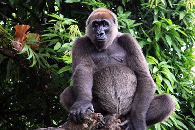 Cross-River Gorili
