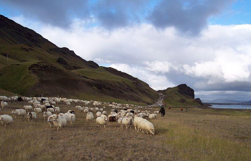 İzlanda'da bir koyun sürüsü