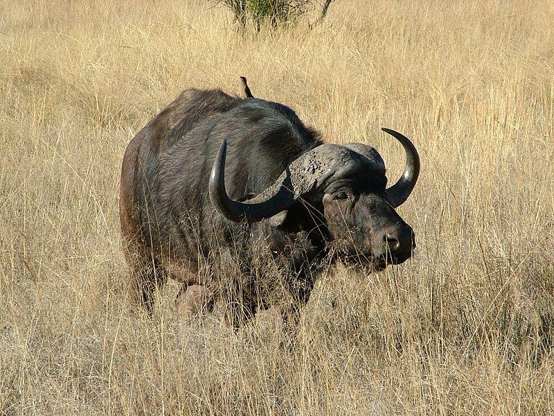 Afrika mandası