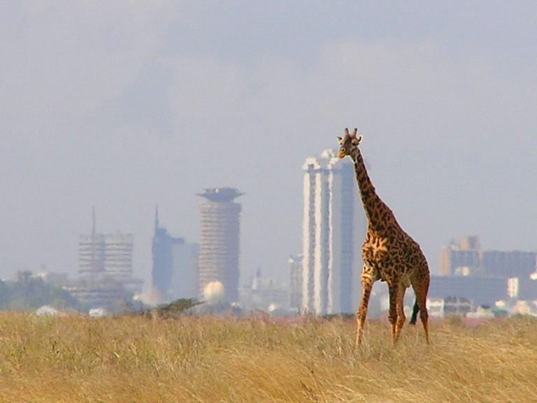 Nairobi Ulusal Parkı'ndaki  bir zürafa, arka planda Nairobi