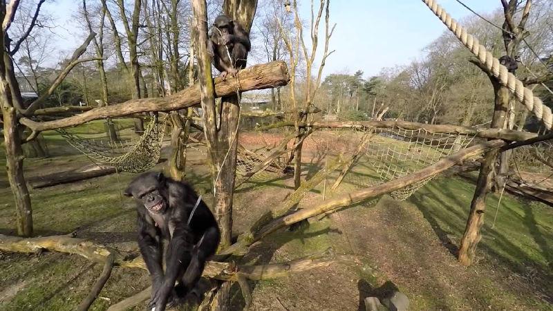 Çekim Yapan Drone'u Alet Kullanarak Düşüren Şempanze