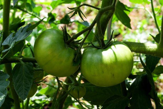 Yeşil Domatesin faydaları