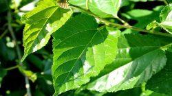 Dut Yaprağının Faydaları Nelerdir?