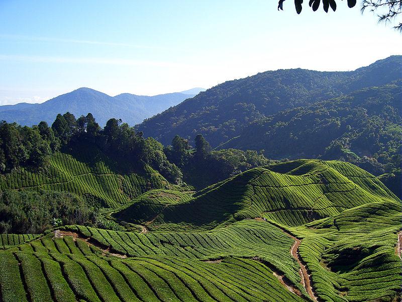 Malezya'da çay tarlaları