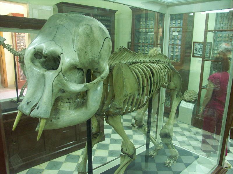 Malta'da bulunmuş, ilkel fil iskeleti
