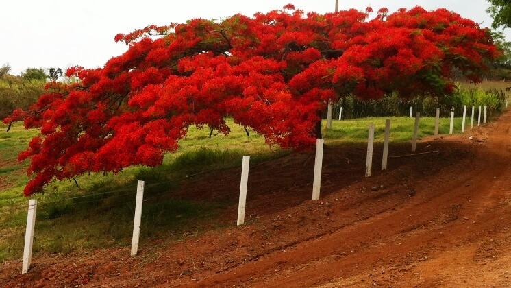 Ateş ağacı (Delonix regia)