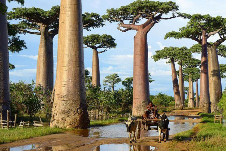 Baobab ağaçları, Madagaskar