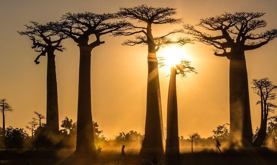 Baobab ağaçları