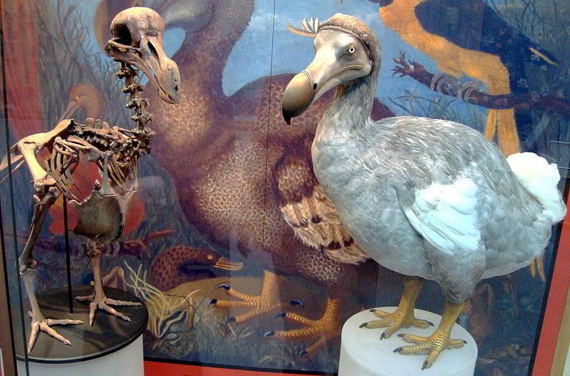 Bir dodo'nun iskeleti ve modeli - Oxford Üniversitesi Tabiat Tarihi Müzesi