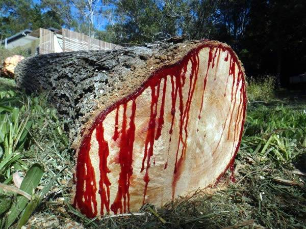 Ejderha Kanı Ağacı (Dracaena cinnabari)