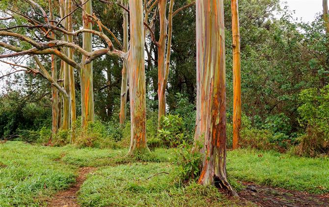 Gökkuşağı okaliptus Ağacı