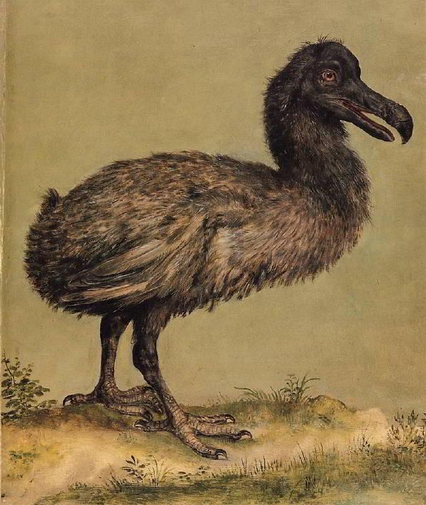 Dodo (Mauritius Dodosu)