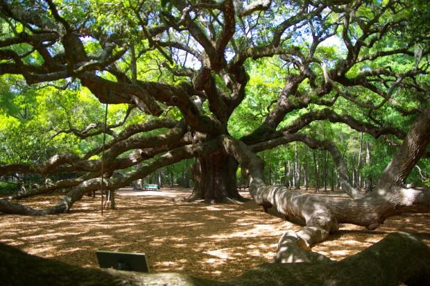 Angel Oak (Melek Meşe) ağacı